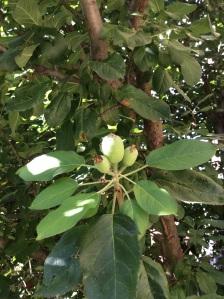 Baby apples, 9/20/15